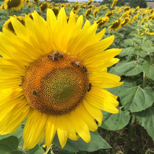 Bioland-Sonnenblumenhonig