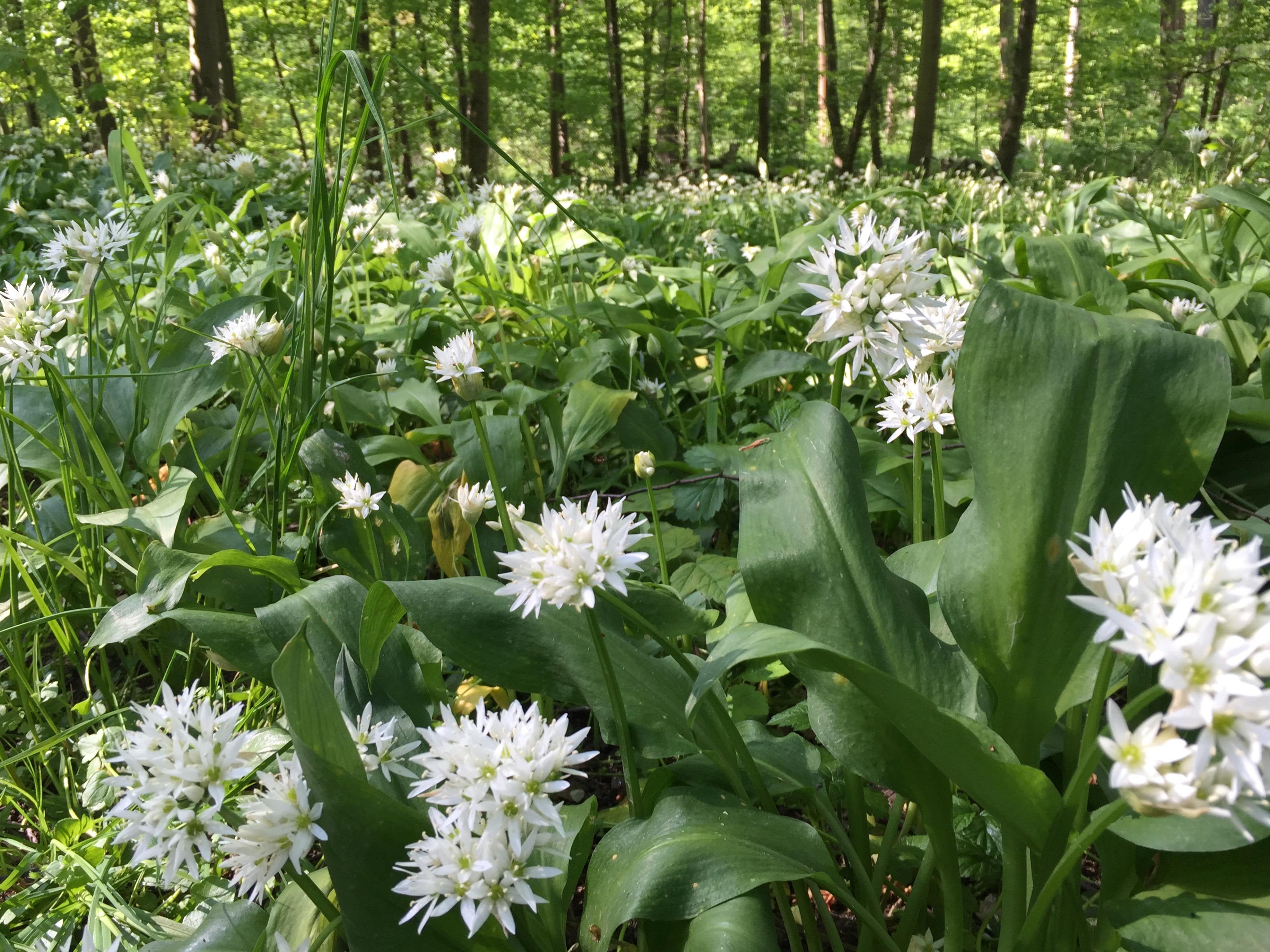 Auenwald in voller Blüte