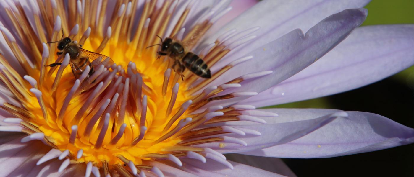 Bienen auf tropischer Blüte